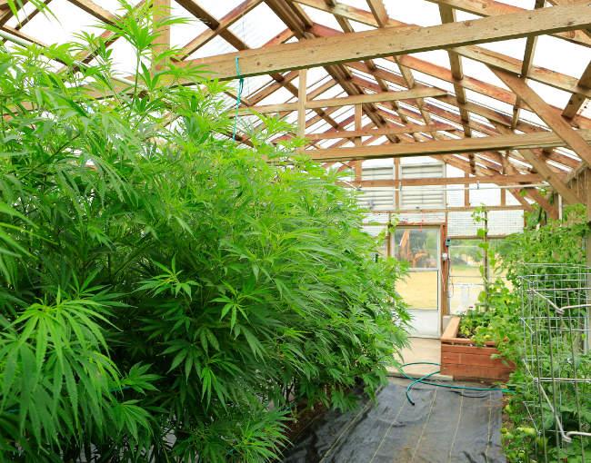 medical marijuana in a greenhouse