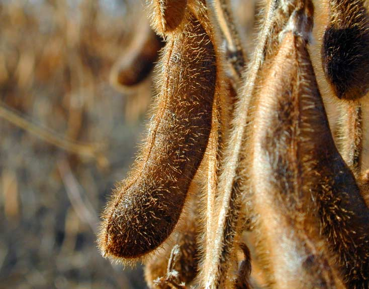 ripe soybean