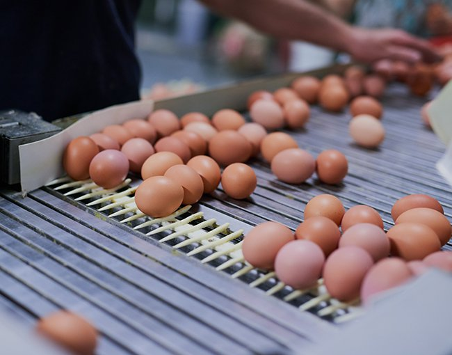 Eggs on a conveyor belt in a factory