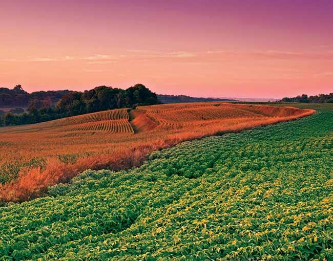 soy-bean--corn-crops_650x510