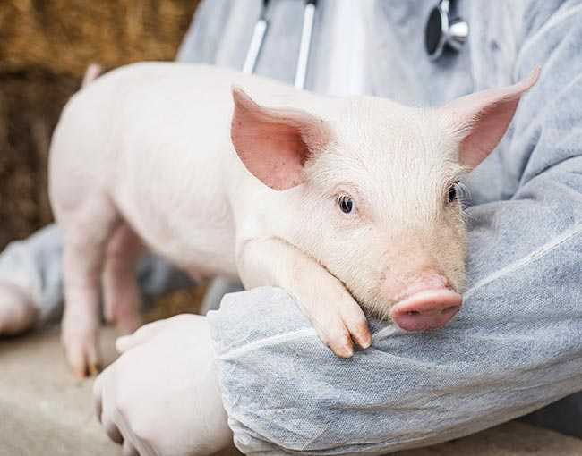 veterinarian-holding-a-pig_22314237586_o