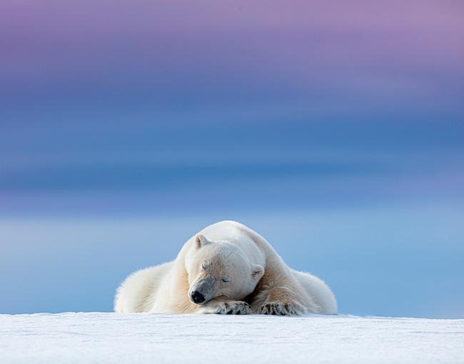 Polar-bear-1257696738_650x510