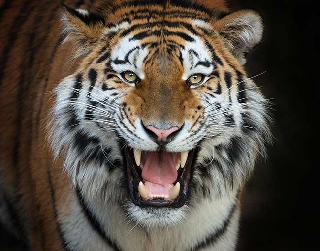 Roaring Brüllender Tiger